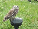 10cm Little Owl